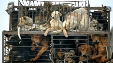 Caged dogs on a truck on the outskirts of Beijing: After an online uproar, government officials canceled a dog-eating festival planned for Oct. 18 in Jinhua City, China.