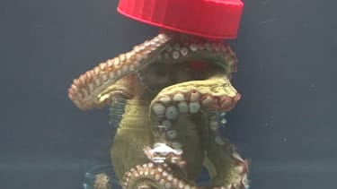 Behold: A terrifying octopus that can open jars from the inside