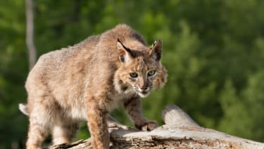 National Zoo stops search for bobcat.