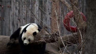 Bao Bao is leaving Washington D.C. for China today.