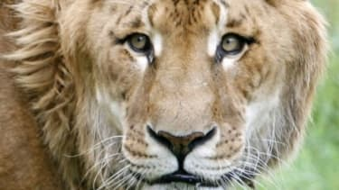 Ligers are are the world's largest big cat, growing up to 12 feet long and 1,200 lbs.