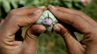 A police official squeezes a poppy pod, releasing the milky substance that when dried becomes raw opium.