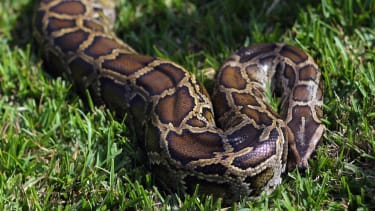 Giant python has species' first ever 'virgin birth'