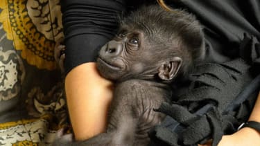 Zookeepers send baby gorilla shunned by her mom to new zoo