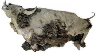 9,300-year-old bison mummy uncovered in Siberia