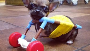 Disabled puppy gets a new lease on life with a cart made of toy parts