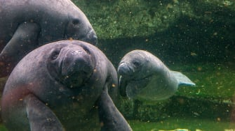 Manatees, a protected species.