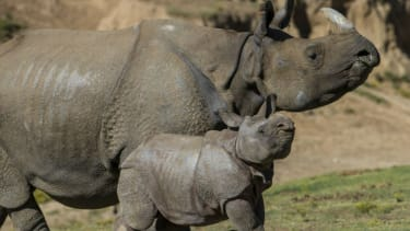 Baby rhino struts his stuff for the first time at the San Diego Zoo Safari Park