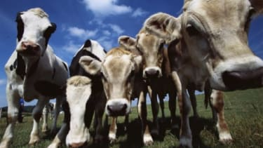 Though meat and milk from cloned livestock may be safe to eat, a debate still lingers over its ethical acceptability.