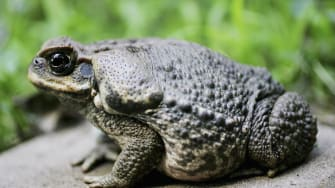 Toad skins were once used as hallucinogenic drugs