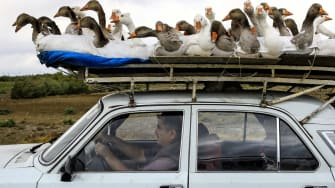 A goose-covered car.