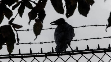 Urban crows.