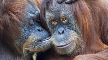 Orangutans get shown photos of other hunky orangutans.