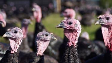 A gaggle of turkeys