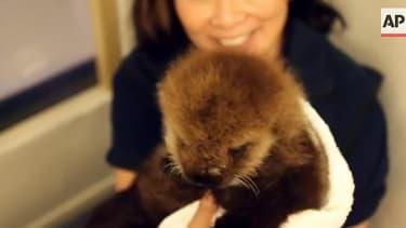 Watch the Chicago Shedd Aquarium's adorable sea otter pup make a splash