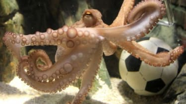 In honor of the oracle octopus, the Oberhausen aquarium will put up a memorial featuring a video of Paul's predictions.