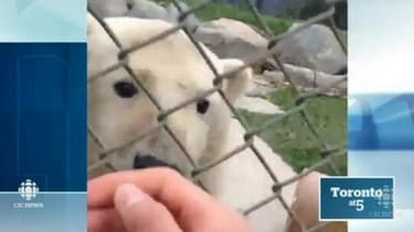 Trespassing teens hop fence to take polar bear selfies, enrage Toronto Zoo