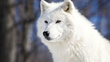 A rare white wolf.