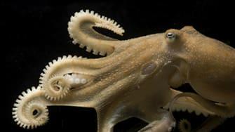 California two-spot octopus (Octopus bimaculoides).