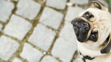 It may be more than a look: New research finds that dogs sense human emotion based on our eye contact and facial expressions.