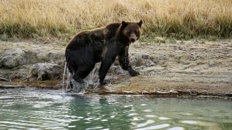 Female grizzly bear.