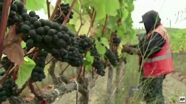A farm worker picks pinot grapes in Oregon