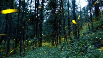 Fireflies in the woods of Piedra Canteada