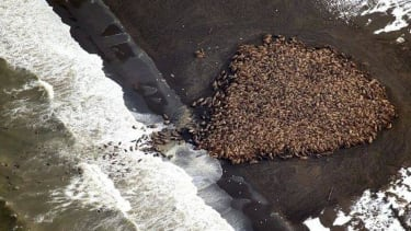 Not able to find sea ice, almost 35,000 walrus take over an Alaskan beach