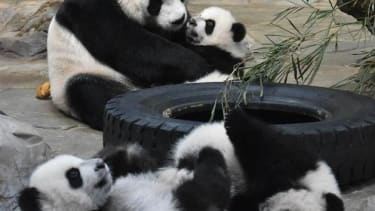 Panda mom and her triplets are reunited in China
