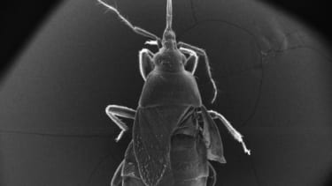 A scanned Electron Microscopy image of a mated female warehouse pirate bug