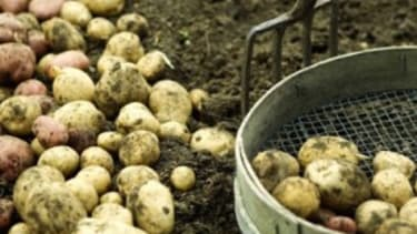 It's official: Potato plants lack curb-appeal