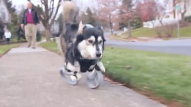 Dog with 3D-printed prosthetics can now run free
