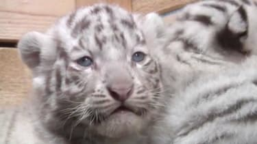 Rare white tiger quintuplets make their delightful debut in Austria