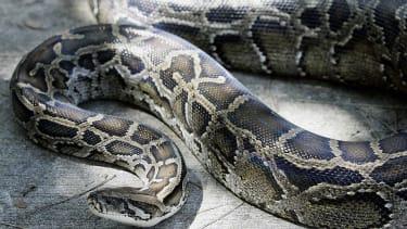 Giant python.