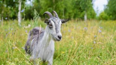 A goat.