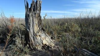 A dead tree in Nevada