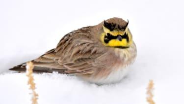 A horned lark.