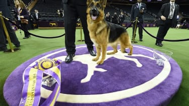 Rumor the Best in Show winner at the Westminster Kennel Club Dog Show.