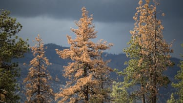 Dead and dying trees in Los Padres National Forest.