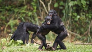 Young bonobos embrace
