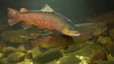 Female brown trout have learned how to fake orgasms.