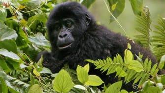 Mountain gorilla baby in Bwindi National Park.