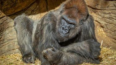 A gorilla at the San Diego Zoo Safari Park.