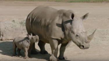 Kiazi and her calf.