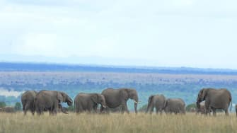 African elephant numbers are dwindling down fast.
