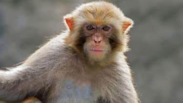 A rhesus monkey
