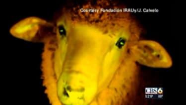 Glowing sheep