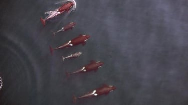 Here's a drone's-eye view of killer whales