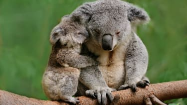 Scientists successfully test 'breakthrough' vaccine for koala chlamydia