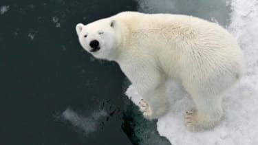 Study reveals how polar bears can be really fat, but totally healthy